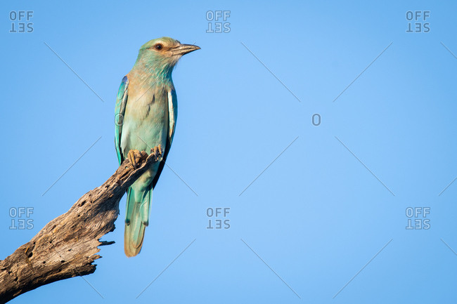 A European roller, Coracias garrulus, perches on a dead branch against blue sky background. Looking out of frame.