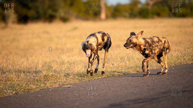 Two wild dog, Lycaon pictus, walk together, looking out of frame, mouth open, dry yellow grass background.