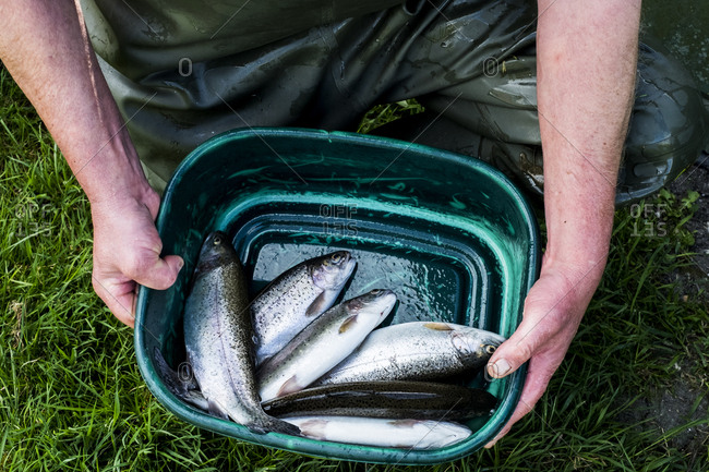 High angle close up of person holding green bucket with freshly caught trout at a fish farm raising trout.