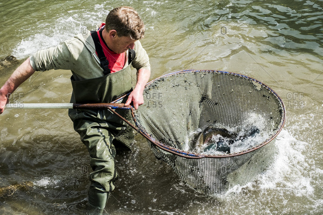 High angle view of man wearing waders standing in a river, holding large fish net with trout.