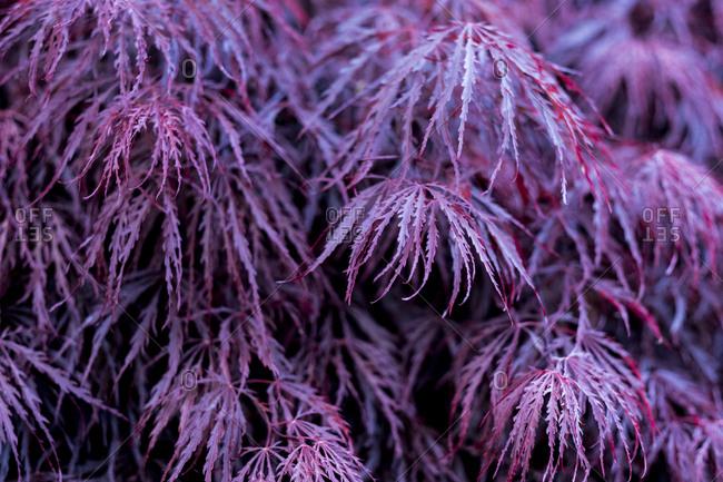 Close up of vibrant purple foliage of a Laceleaf Japanese Maple.