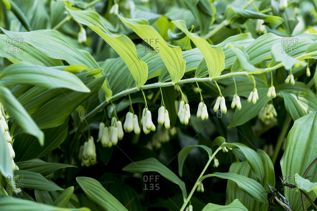 Close up of Solomon's Seal plant with dangling white flowers and lush green foliage.