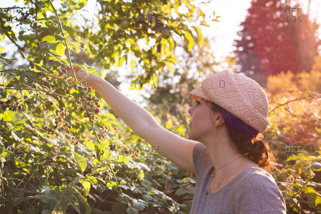 A woman forages for blackberries in the English countryside
