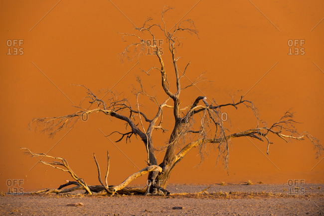 Acacia tree in front of Dune 45 in the Namib Desert at sunset