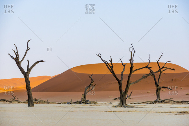 Dead Acacia trees by sand dunes at Deadvlei in Namibia