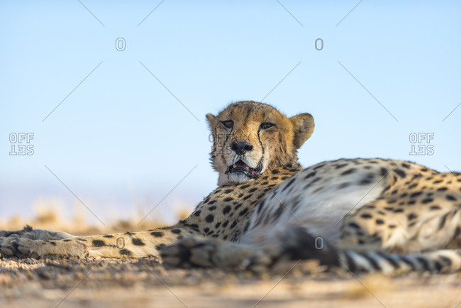 A Cheetah on the desert plains in Southern Namibia