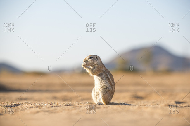 A Ground Squirrel in the desert in Namibia