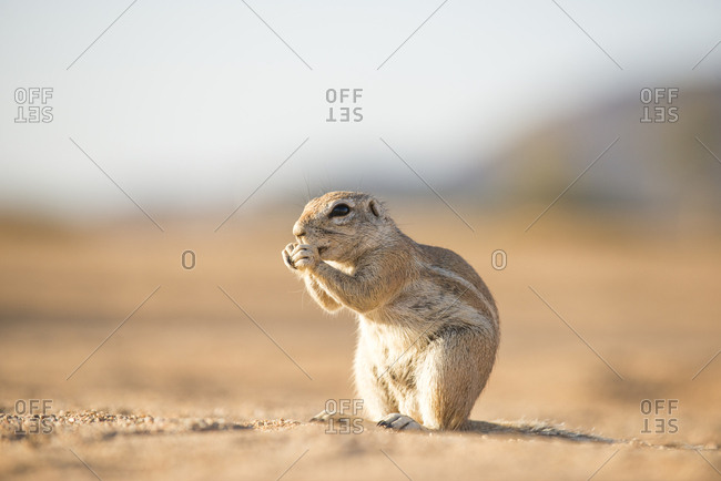 A Ground Squirrel near the small town of Solitare in Namibia
