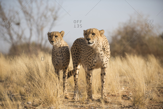 Cheetahs on the plains in Southern Namibia