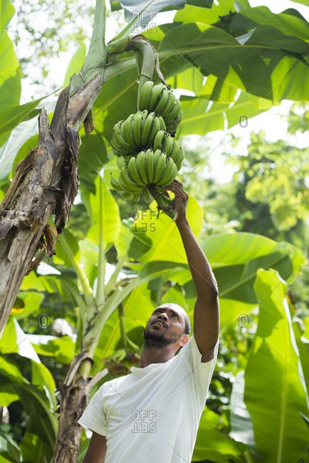 Castara, Tobago, Trinidad and Tobago - November 12, 2015: A man picking bananas in Castara Bay on the Caribbean island of Tobago
