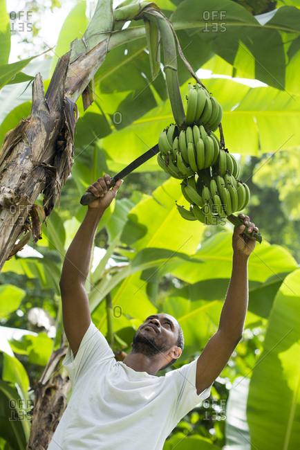 Castara, Tobago, Trinidad and Tobago - November 12, 2015: A man harvests bananas in Castara Bay on the Caribbean island of Tobago
