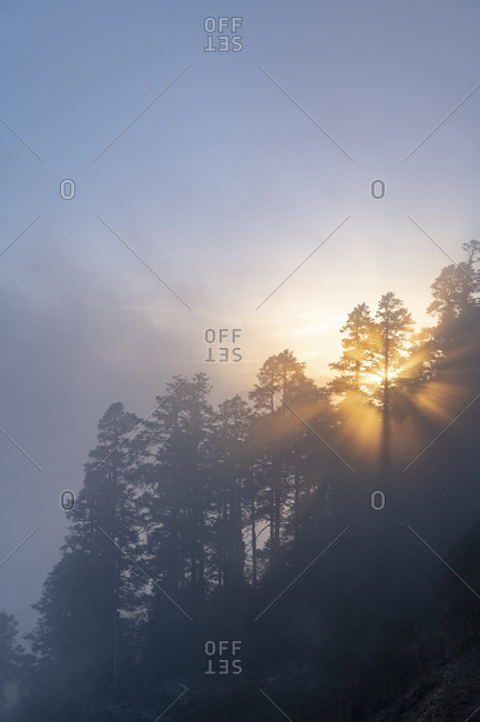 Sun rays break through a canopy of a pine trees in a forest in the Himalayas on a misty evening at sunset