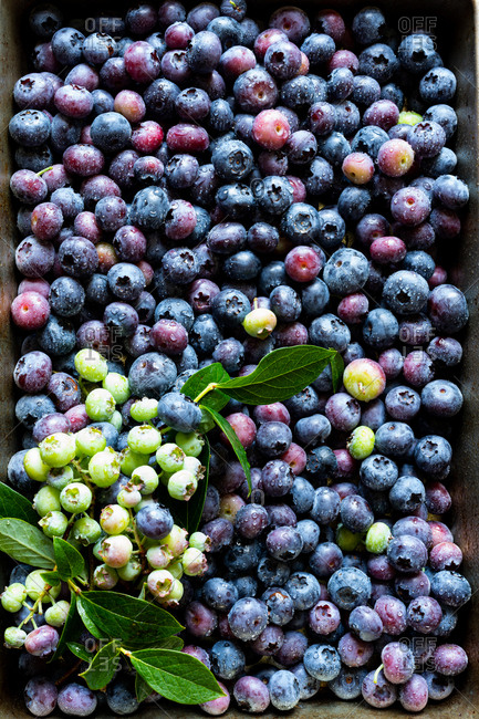 Fresh picked blueberries in a box