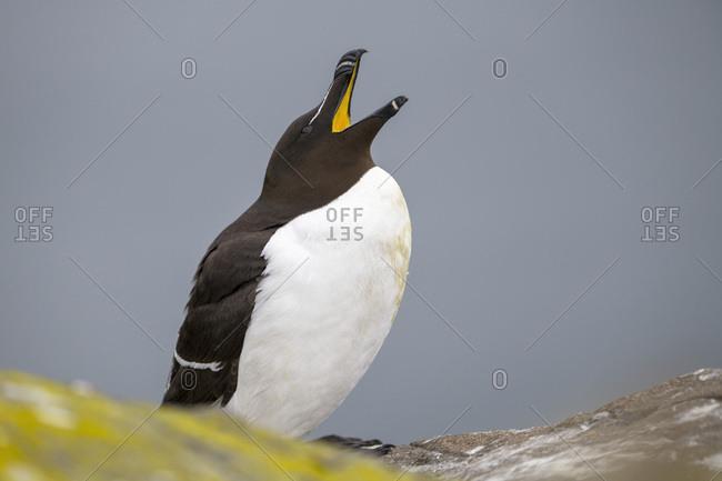Scotland- Isle of May- Razorbill with open beak
