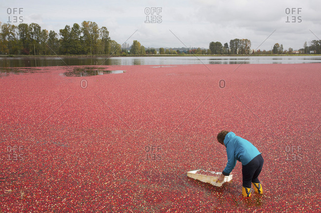 Woman gathering a sample of the cranberry harvest in Vancouver, Canada