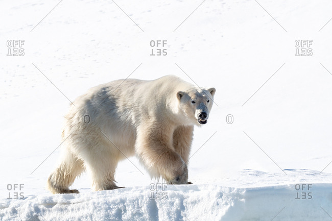Adult male polar bear, Ursus maritimus, on the snow of Svalbard.