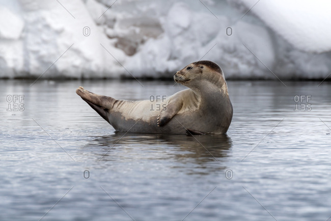 Harbor seal in the shallow icy waters of Svalbard