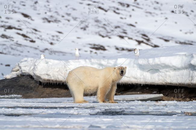Adult male polar bear, Ursus maritimus, on the fast ice of Svalbard.