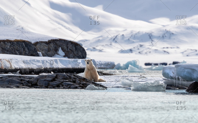 Adult male polar bear, Ursus maritimus, in natural habit in Svalbard.