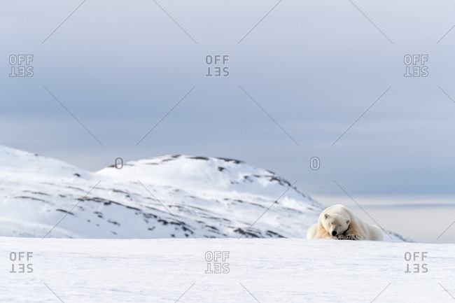 Adult male polar bear, Ursus maritimus, resting on the snow of Svalbard.