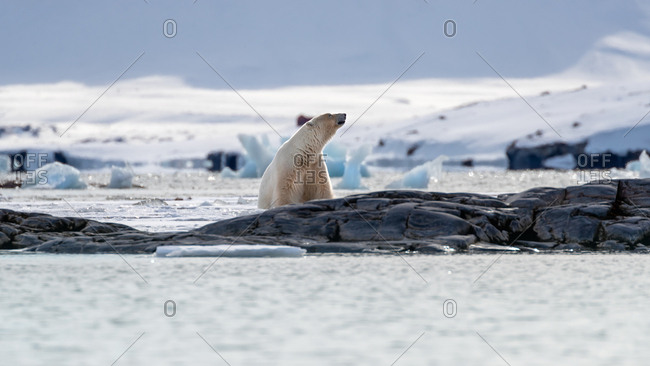 Adult male polar bear, Ursus maritimus, sniffs the air of Svalbard.