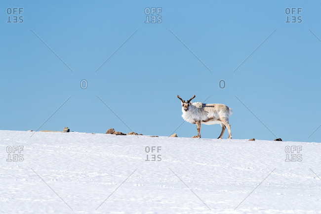 Reindeer, Rangifer tarandus, standing on the brow of a snow-covered hill in Svalbard.