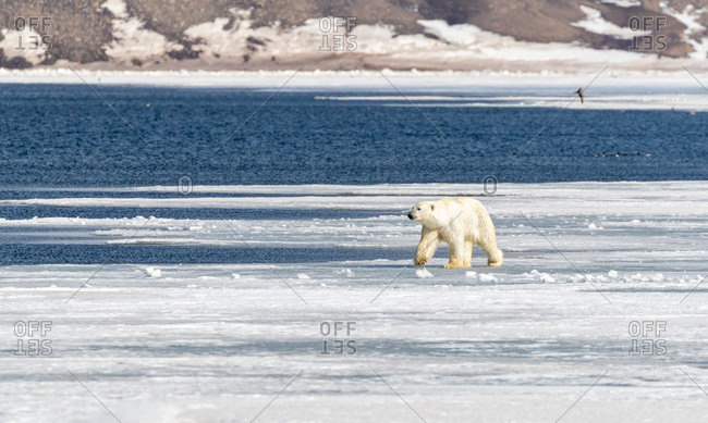 Young adult polar bear, Ursus maritimus, walks along the fast ice of Billefjord, Svalbard.