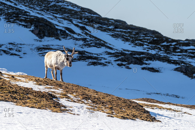Reindeer on the tundra of Svalbard, with snow covered mountains in the background.