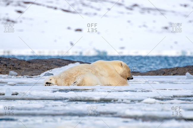 Adult male polar bear, Ursus maritimus, resting on the fast ice of Svalbard.