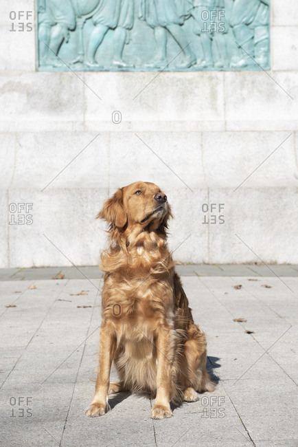 Well trained golden retriever sitting on park sidewalk looking up on an autumn day