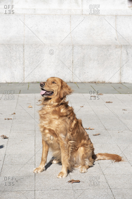 Well trained golden retriever sitting on park sidewalk with tongue out on an autumn day