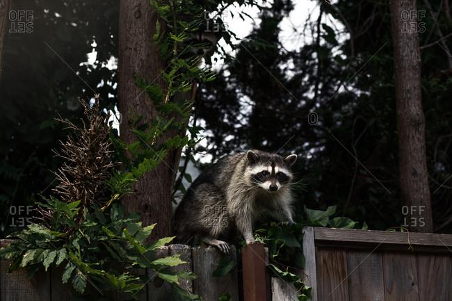 Raccoon climbing on fence