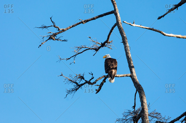 Bald eagle perched on a tree branch