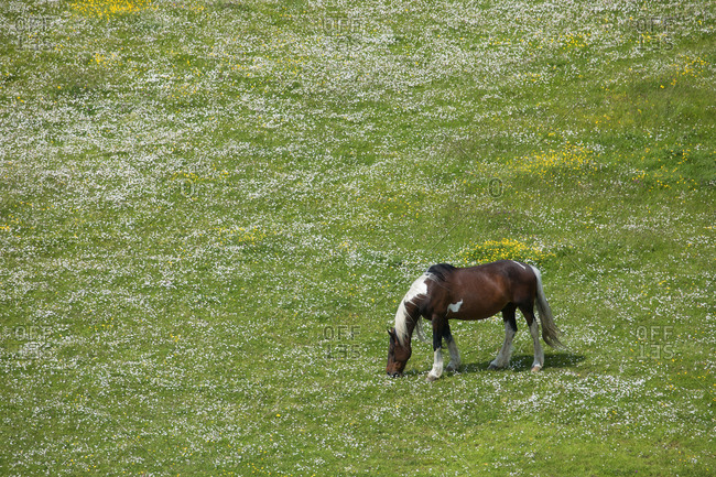 Horse grazing near Dublin airport in field of clovers in Ireland