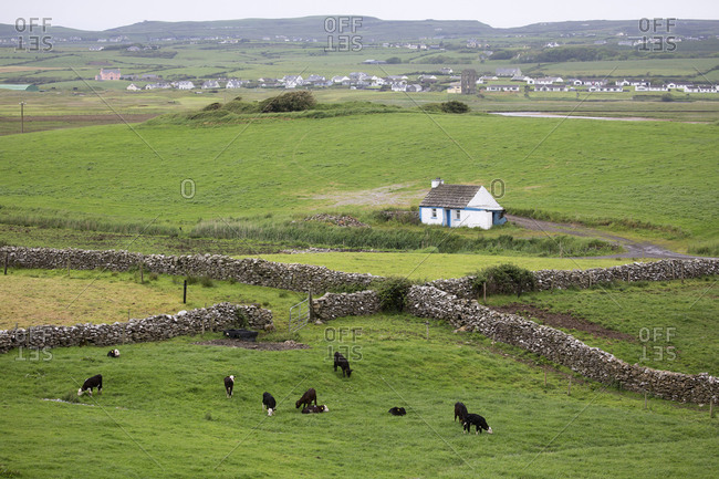 Cattle grazing in the countryside, Buff, Ireland