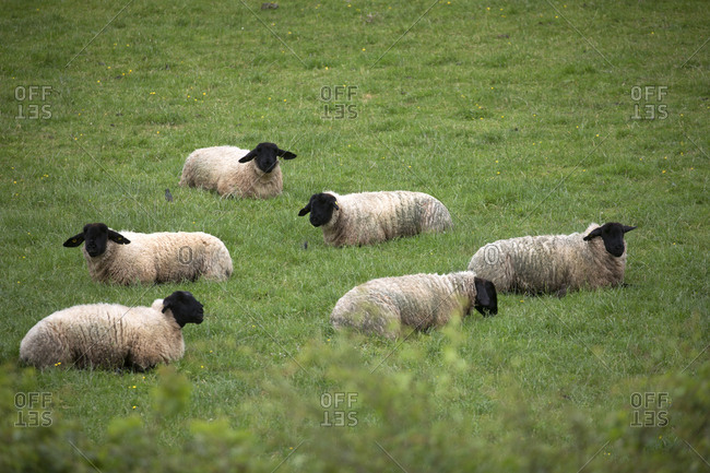 Sheep resting in field of grass, Limerick, Ireland