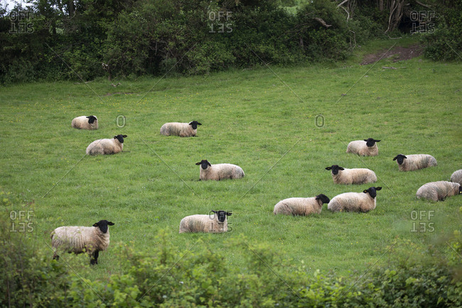 Sheep in field of grass, Limerick, Ireland