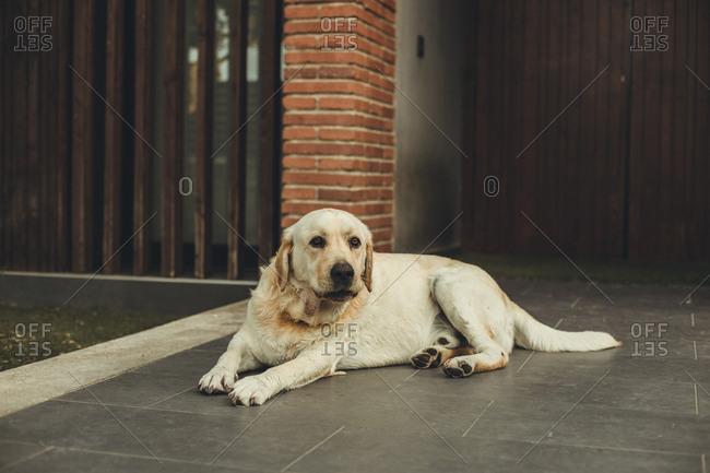 White dog lying outside