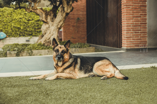 Dog lying outside in the grass