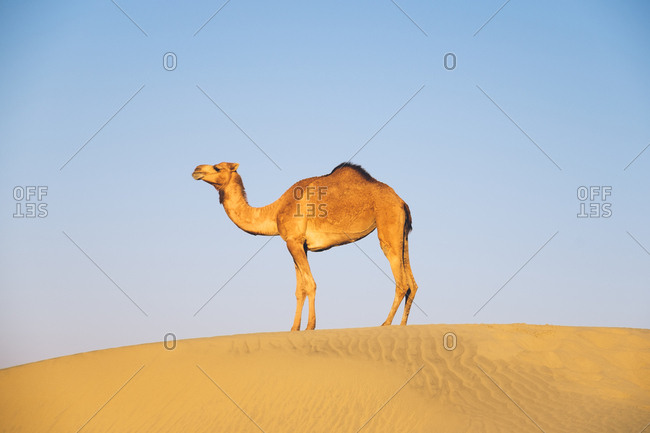 Camel in the desert by wind turbines