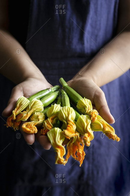 Fresh courgette flowers held in hands