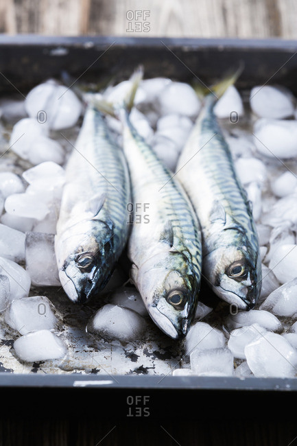 Three fresh mackerel on ice