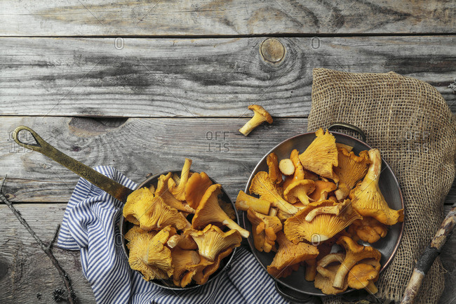 Chantarelle mushrooms picked in bowls and kept unwashed