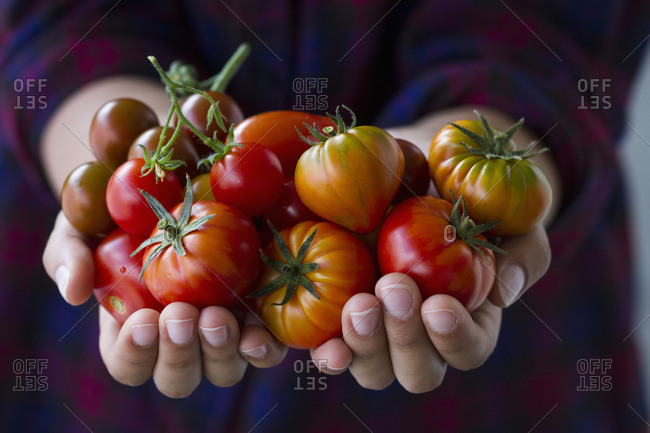 Hands holding different tomato varieties