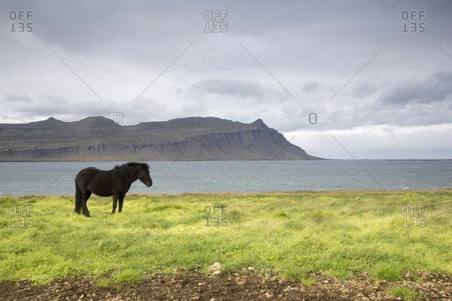Icelandic pony standing near waterway in the Eastern Coastal Region, Iceland