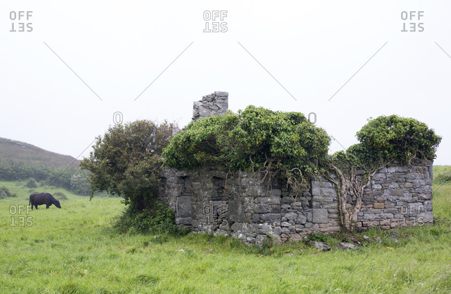 Abandoned stone farmhouse with tree of life vines of ivy in the Ring of Kerry, Ireland