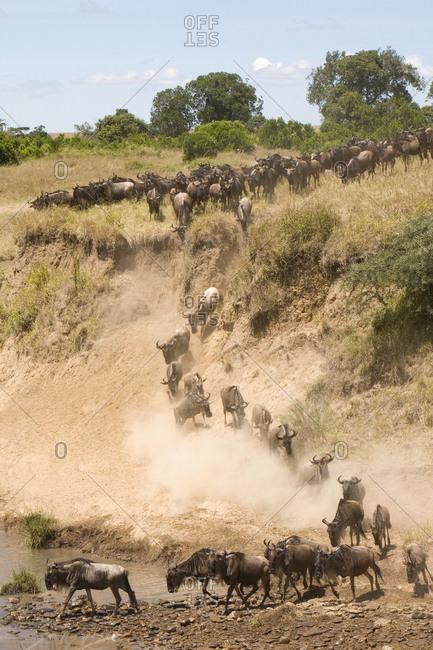 Wildebeest migration, Masai Mara region, Kenya