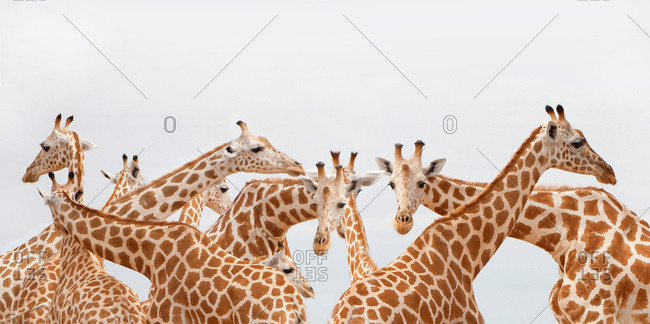 Group of giraffes, Masai Mara region, Kenya