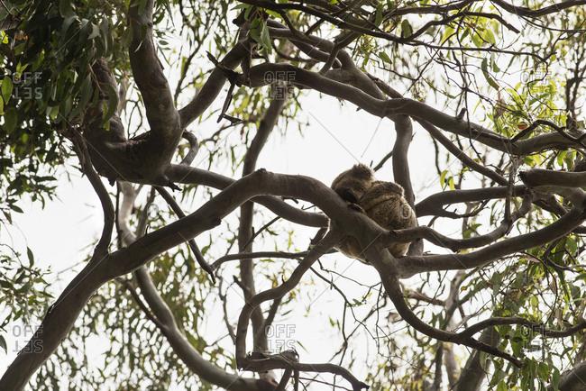 Koala sitting in a tree in Noosa