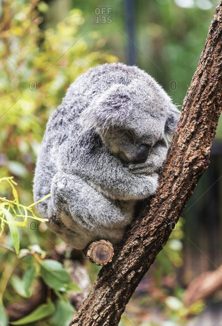 Koala sleeping in a tree, Noosa, Australia